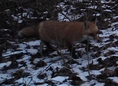 Fox on Campus